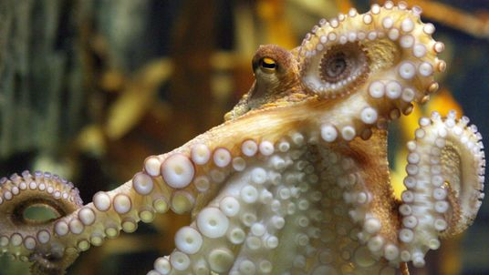 An octopus named Paul swims in his aquarium on July 9, 2010 at the Sea Life aquarium in Oberhausen, western Germany. Paul, the 'psychic' octopus with a perfect prediction record, decided Spain will win the football World Cup for the first time in their history. The eight-legged oracle, who has become a World Cup sensation by correctly predicting all six Germany games, very quickly plumped for Spain carried live on national German television. AFP PHOTO / PATRIK STOLLARZ (Photo credit should read