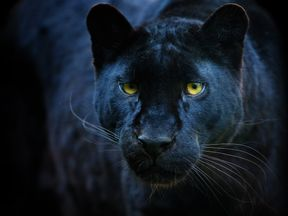 Police are responding to a report of a sighting of what is believed to be a black panther. File pic