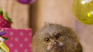 Marmoset monkeys are not camera shy