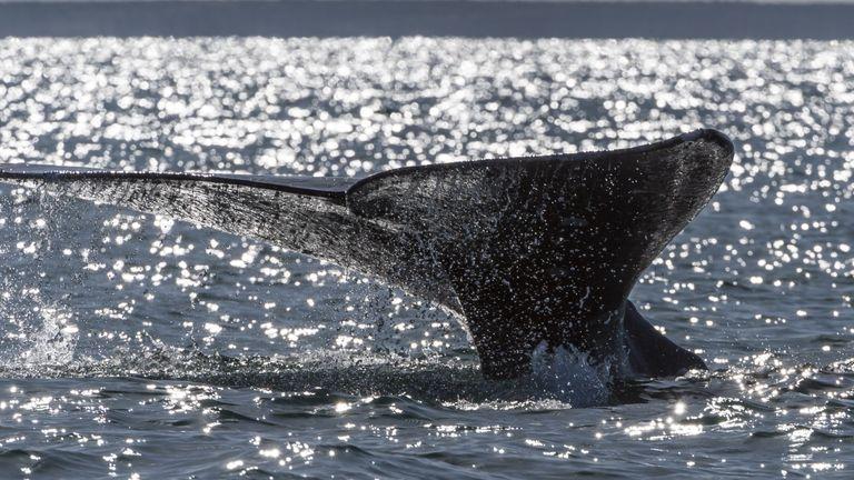 A grey whale (Eschrichtius robustus) dives into the Ojo de Liebre Lagoon, Baja California Sur state, Mexico on March 3, 2015