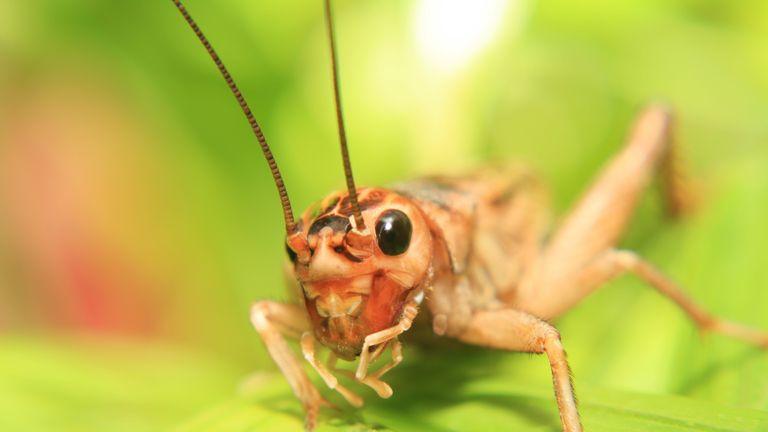 Macro of a cricket on a leaf