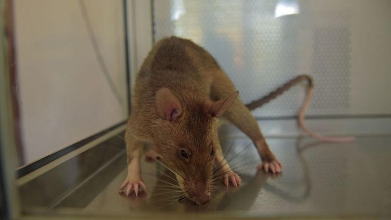 A photo shows an African giant pouched rat at APOPO's training facility in Morogoro on June 16, 2016. APOPO trains rats to detect both tuberculosis and landmines at its facility. Rats are given sputum samples, some of which contain tuberculosis traces and some which don't, the rats indicate that believe they have detected the disease by pausing for longer at a sample, the sample is then marked for further testing and confirmation. The rats are as effective as conventional lab screening of sample